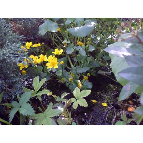 Caltha ranunculaceae populage palustris aquatique de la for Vente vegetaux