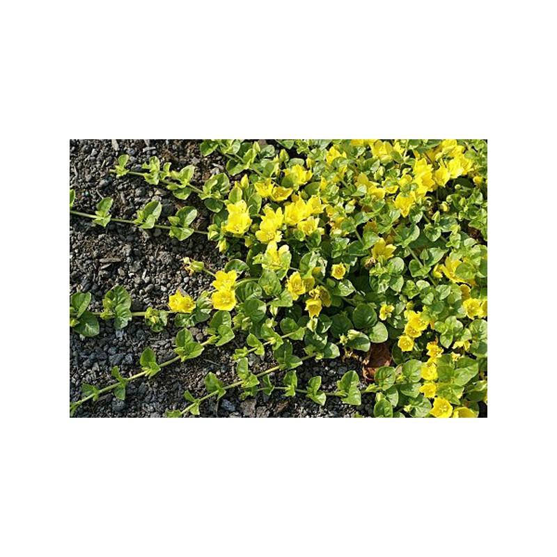 Lysimachia primulaceae lysimaque nummulaire nummularia for Vente vegetaux