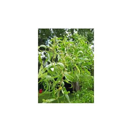 Salix salicaceae babylonica tortuosa aquatique de la moine for Vente vegetaux