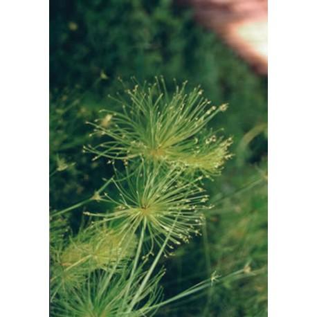 Cyperus cyperaceae papyrus nanus aquatique de la moine for Vente vegetaux