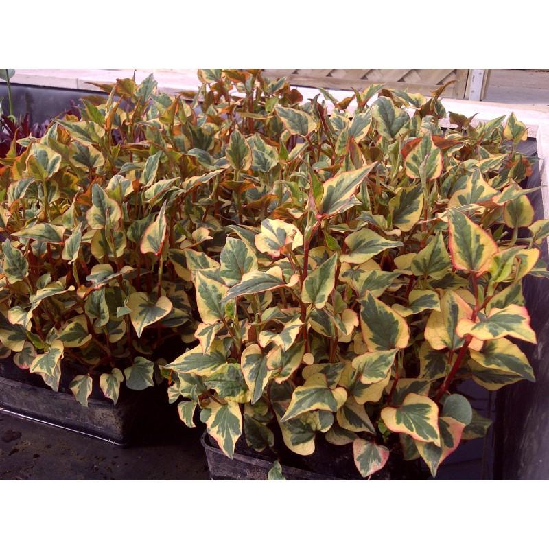 Houttuynia saururaceae cordata chameleon aquatique de la for Vente vegetaux