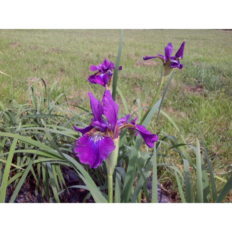 Iris iridaceae versicolor kermesina aquatique de la moine for Bache epdm blanche