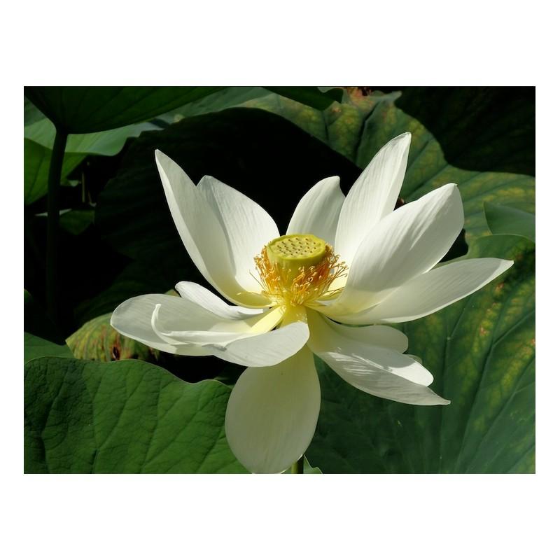 Nelumbo nelumbonaceae nucifera alba grandiflora for Vente vegetaux