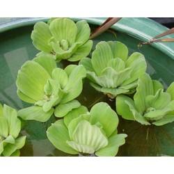 PISTIA Stratiotes. Laitue d'eau Araceae
