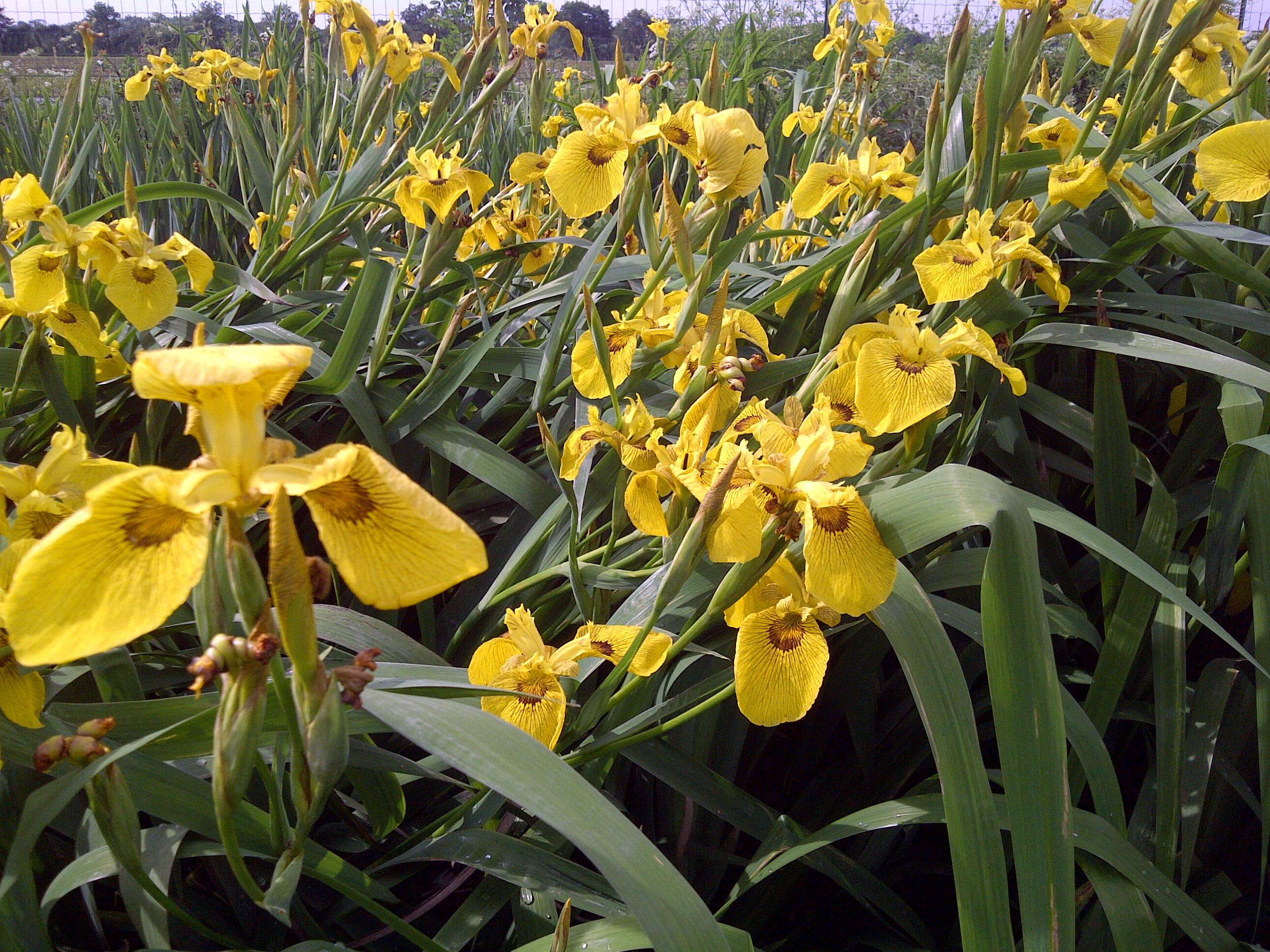 plantes de rives iris