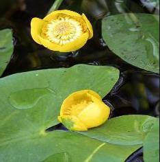 nénuphar jaunet d'eau