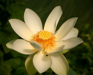 plantation nénuphar et lotus