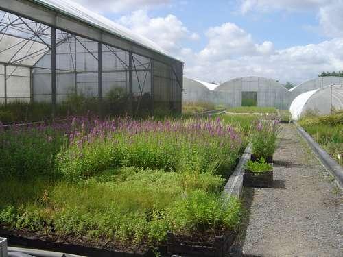 culture de plantes de rive