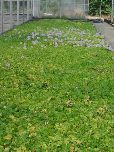 plantes flottantes jacinthe d'eau