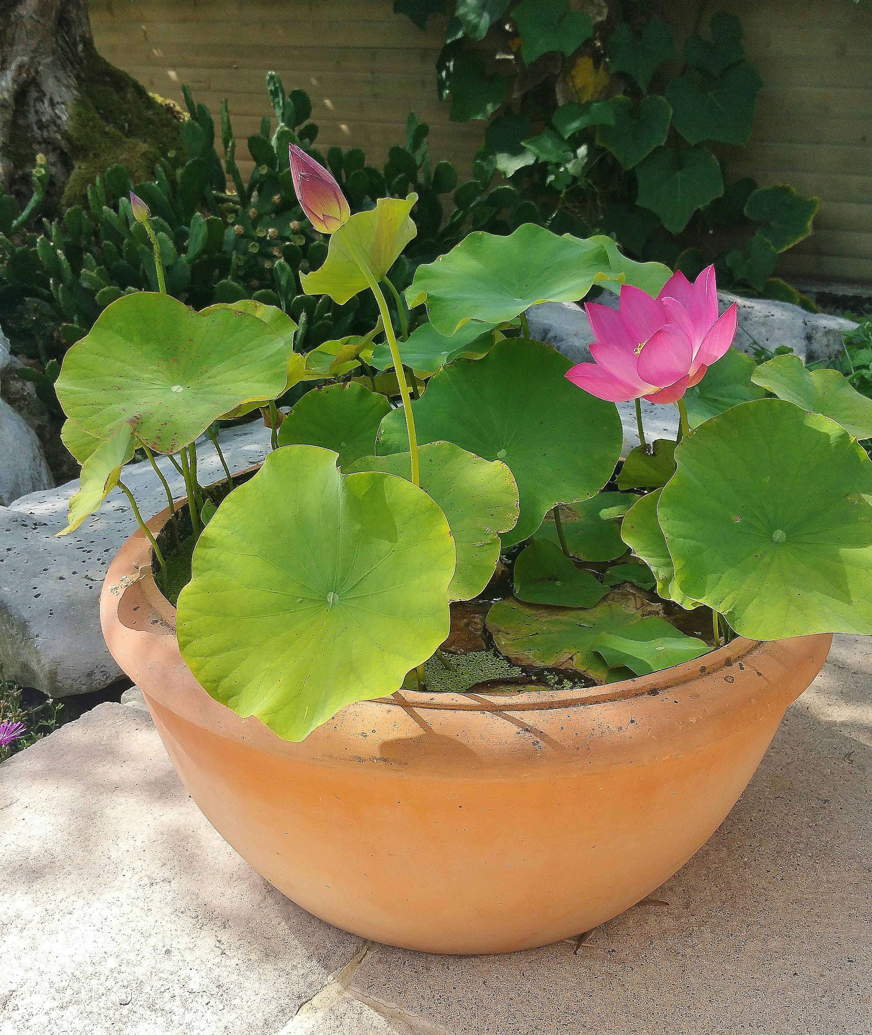 planter un lotus dans une vasque