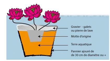 Planter nénuphars et lotus