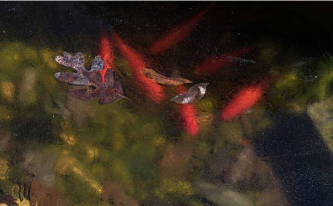 poissons sous la glace en hiver