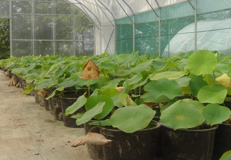 Pépinière de plantes aquatiques