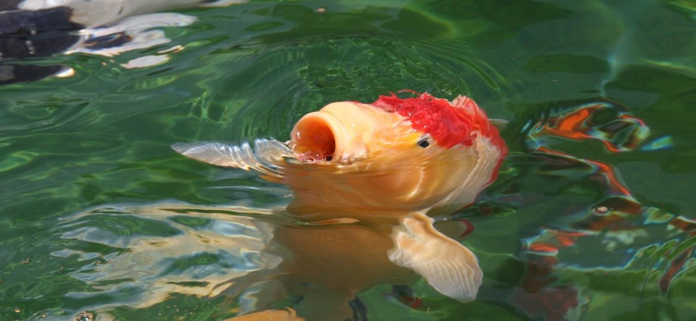 Vente de plantes et mat riels aquatiques pour bassin for Vente carpe koi particulier