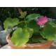 Lotus Hong Xia