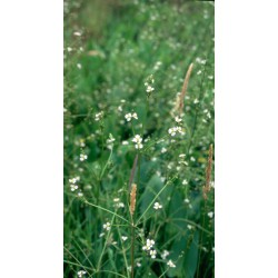 ALISMA Alismataceae Plantain-d'eau plantago-aquatica