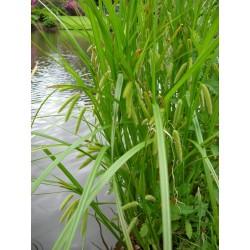 CAREX Cyperaceae Laîche pseudocyperus