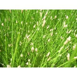 ELEOCHARIS Cyperaceae acicularis