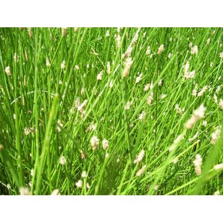 Eleocharis cyperaceae acicularis aquatique de la moine for Vente de vegetaux en ligne