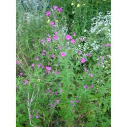 EPILOBIUM Onagraceae Epilobe hirsutum