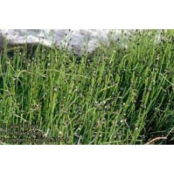 EQUISETUM Equisetaceae scirpoides