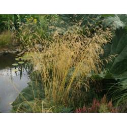 DESCHAMPSIA Poaceae cespitosa