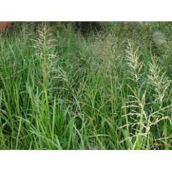 GLYCERIA Poaceae Glycérie maxima