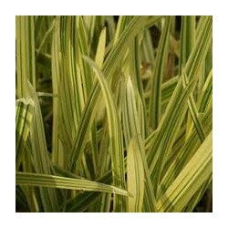 GLYCERIA Poaceae Glycérie maxima Variegata
