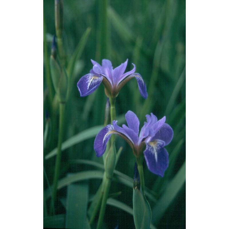 Iris versicolor plante de bassin aquatique de la moine for Bache epdm blanche