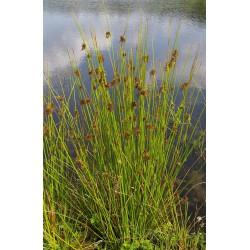 JUNCUS Juncaceae Jonc diffus. effusus