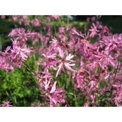 LYCHNIS Caryophyllaceae Fleur de coucou flos-cuculi