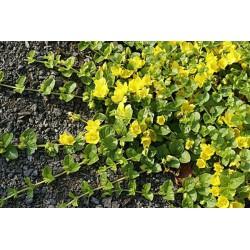 LYSIMACHIA Primulaceae Lysimaque nummulaire. Nummularia