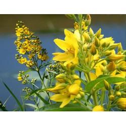 LYSIMACHIA Primulaceae Chasse-bosse vulgaris