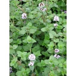 MENTHA Lamiaceae Menthe aquatica