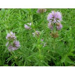 MENTHA Lamiaceae Menthe des cerfs cervina