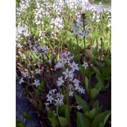 MENYANTHES Menyanthaceae Trèfle d'eau. trifoliata
