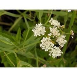 OENANTHE Apiaceae fistulosa