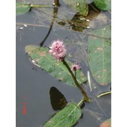 PERSICARIA Polygonaceae Renouée-amphibie amphibia