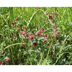 POTENTILLA Rosaceae Potentille-des-marais palustris