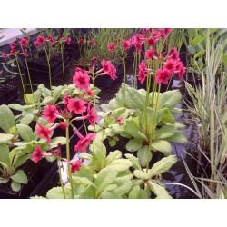 PRIMULA Primulaceae Primevère japonica