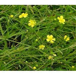 RANUNCULUS Ranunculaceae Renoncule flammula