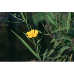 RANUNCULUS Ranunculaceae Renoncule lingua