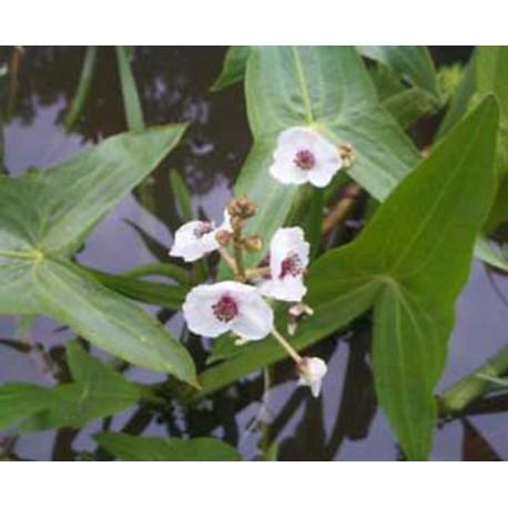 SAGITTARIA Flèche d'eau sagittifolia