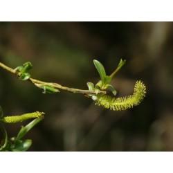 SALIX Salicaceae fragilis