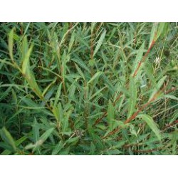 SALIX Salicaceae Osier rouge purpurea