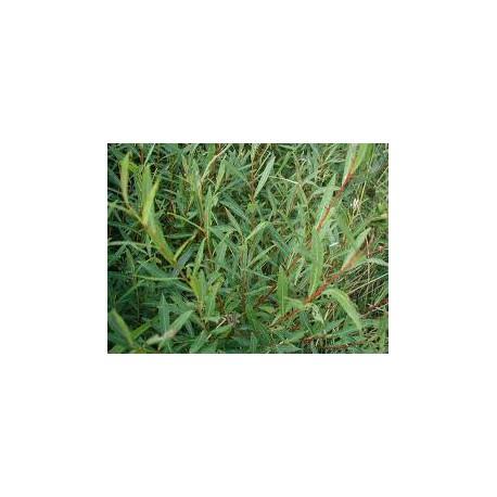 Salix osier rouge purpurea aquatique de la moine for Vente vegetaux