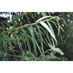 SALIX Salicaceae Osier blanc viminalis