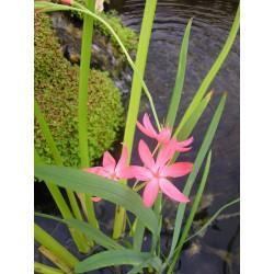 SCHIZOSTYLIS Iridaceae coccinea Mrs Hegarty