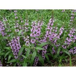 STACHYS Lamiaceae Epiaire palustris