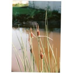TYPHA Typhaceae minima